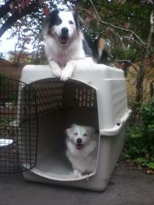 Need help getting your dog acclimated to their crate?  Ask us how to turn your dog into a crate-addict.
