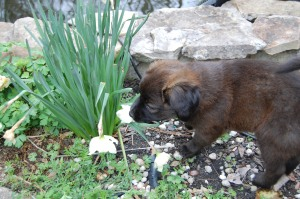 Force Free Fido: Puppy Ivy Explores the Flower.  Positive Reinforcement Puppy Socialization Class in Concord, NC